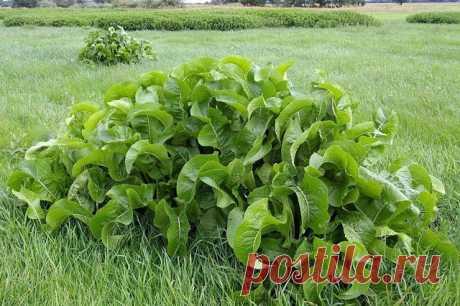 ¿Donde usar todavía el rábano silvestre? | 6 sotok