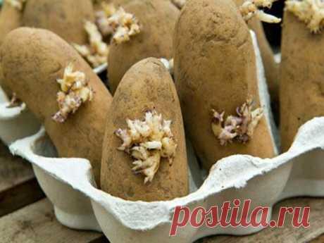 Las patatas, la plantación correcta de los tubérculos