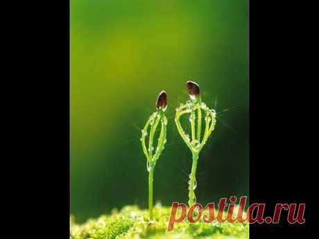 (+1) тема - Кедр - как вырастить саженцы Pínus sibírica | 6 соток