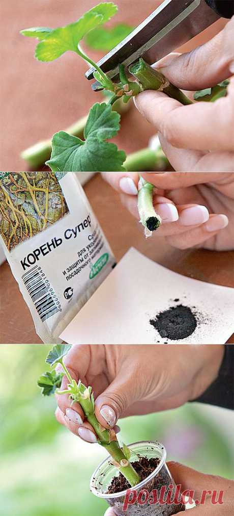 Как размножить пеларгонию черенками и сформировать из них красивый куст.