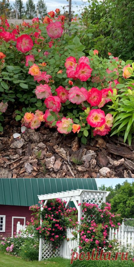 Канадські троянди — ідеальні для практичного, легкого у догляді саду. Опис сортів. Фото - ЗЕЛЕНА САДИБА
