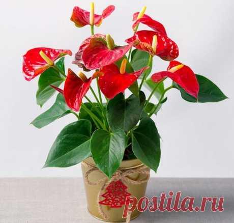 Антуриум домашний: 5 советов, чтобы не загубить растение Антуриум – красивое растение, обладающее яркими листьями. Оно неприхотливо в уходе, но, несмотря на это, стоит соблюдать некоторые рекомендации по уходу, иначе цветок погибнет.