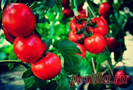 Расстроился, когда помидоры с плодами поразила фитофтора! Расскажу, как поборол болезнь, и собрал замечательный урожай | Твоя Дача | Яндекс Дзен