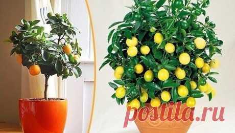 Как вырастить апельсиновое дерево из косточки - Путь к истинной себе