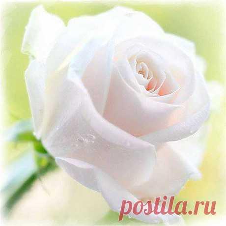 ...О розах Почему так сладко пахнут розы, Принося сумятицу в сердца? Аромат цветов рождает грезы, Душу будоражит без конца. Сколько шарма, прелести, изыска, Сколько силы в царственном цветке! Лишь шипы – защита зоны риска – Оставляют след свой на руке. Розовый букет прекрасный свежий Восхищает и волнует кровь. Только аромат цветочный, нежный Лишь в саду готов дарить любовь.  Набоков Владимир