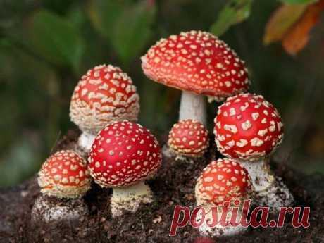 Разновидности несъедобных грибов России - Садоводческий сайт «Дачные дела»