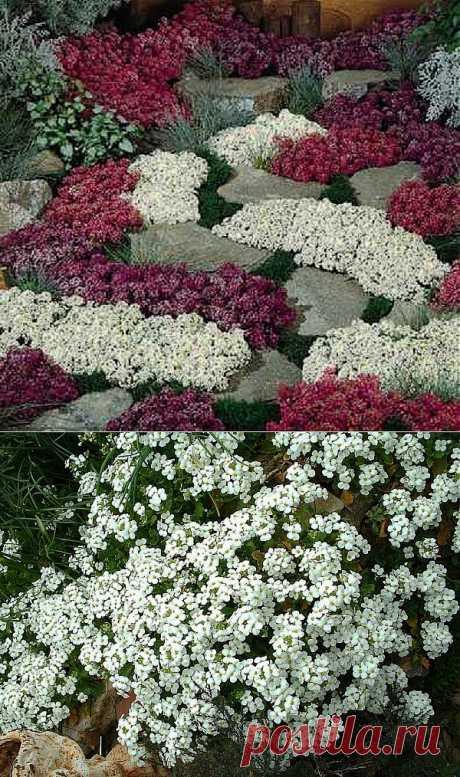 Растения-«коврики»   НА ЗАВАЛИНКЕ