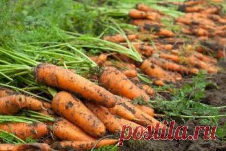 Путь моркови от грядки до подвала