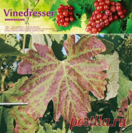 Дефицит фосфора на винограде. Симптомы фосфорного голодания