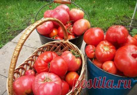 Как не дать помидорам жировать — Садоводка