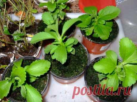 Стевия – выращивание из семян, советы как ухаживать за рассадой