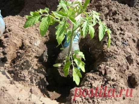 Какую смесь я кладу при высадке перца и томатов на грядки, что долго без подкормки помогают вырастить большой урожай | Люблю свою дачу | Яндекс Дзен