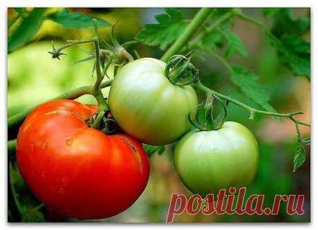 Полезные советы любителям томатов ‣ Перед посевом за 5-6 дней землю пролить горячей водой и 1 ст.ложка медного купороса на ведро воды, закрой пленкой. ‣ Посади: в теплицу и на грядку настурция - от белокрылки, базилик - от болезни и просто любит соседство, намажь вазелином желтую бумажку. ‣ Держи теплицу открытой, не закрывай. ‣ Мульчируй, когда земля прогреется травой, сеном. ‣ Полив под мульчу. ‣ Сделай пару раз пропаривание: закрой теплицу на полдня, потом хорошенько пр...