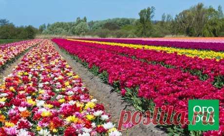 Вечные вопросы: можно ли сажать рядом разные сорта тюльпанов? | В цветнике (Огород.ru)
