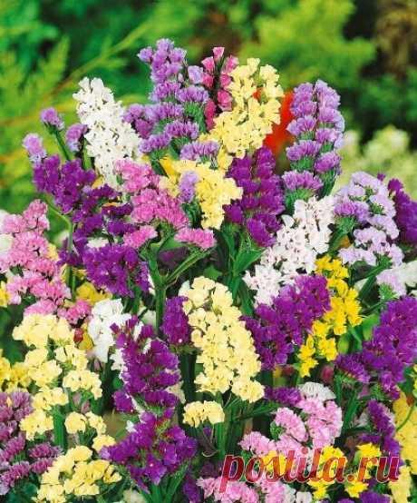 Яркий цветок со звонким названием, цветущий с июля по октябрь. Бонус — универсальный сухоцвет   Дача, сад, огород, рыбалка, рецепты, красота, здоровье