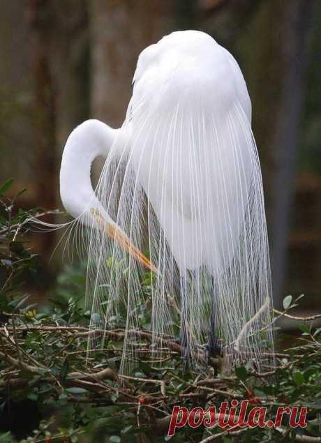 Необыкновенной красоты белая цапля ...