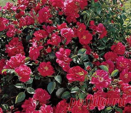 У ремонтантных шиповников цветки образуются как на основных прошлогодних побегах первого, второго, третьего порядков, так и на новых — первого и второго порядков, которые отрастают в ходе цветения. Поэтому на кустах розы морщинистой и ее сортов часто бывают одновременно цветы (вплоть до заморозков) и плоды.