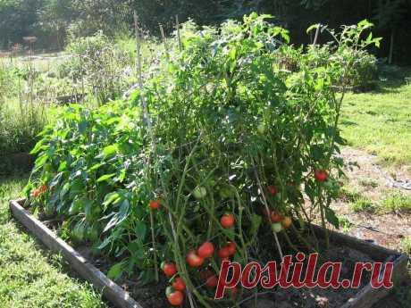 Что такое детерминантный и индетерминантный томат? Разбераемся в типах роста   Твоя усадьба   Яндекс Дзен