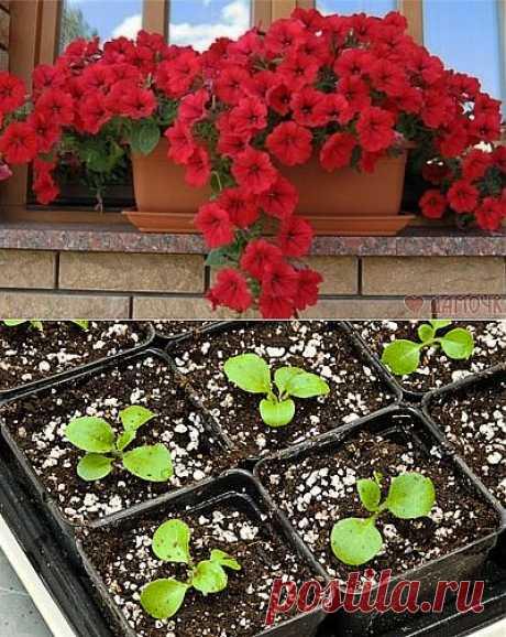 Как правильно выращивать рассаду петунии.