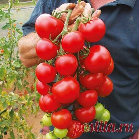 How to accelerate maturing of green tomatoes