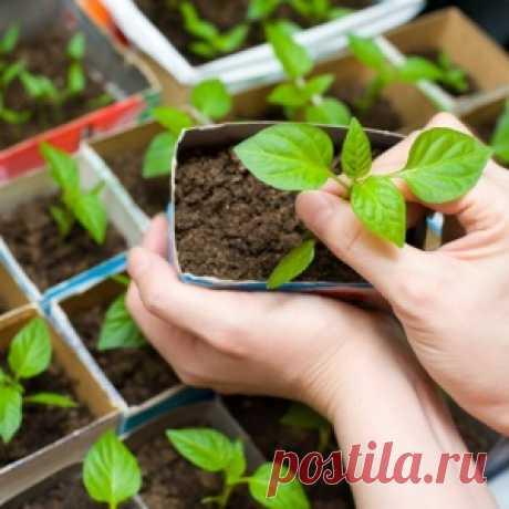 Упрошенный способ выращивания рассады - МирТесен