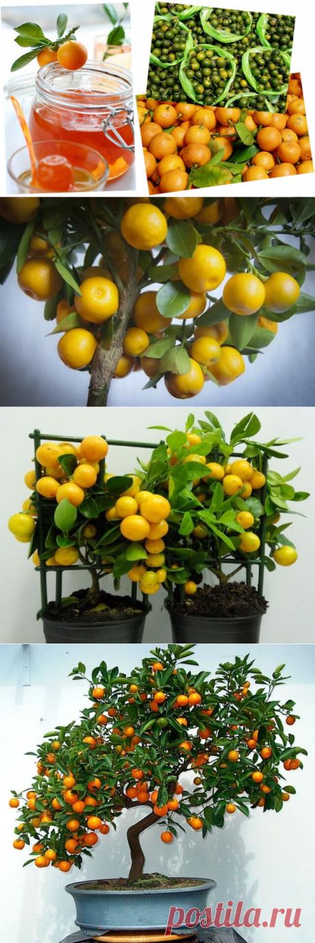 Каламондин: можно ли есть плоды — Бабушкины секреты