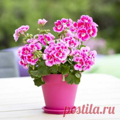 Как вырастить обильно цветущую герань