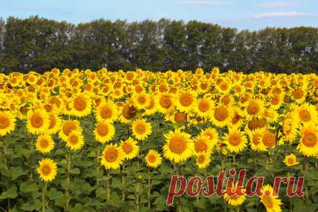 Photo: © Mikhail Turkeev \/ It is removed in Bashkiria \u000d\u000aTags: sunflowers, summer, field, morning, dawn.\u000d\u000a| Sunflowers — National Geographic Russia