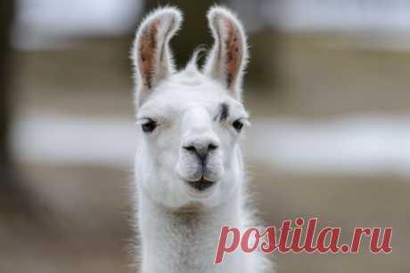 Lovely Llama - white