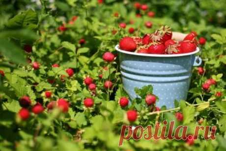 Обрабатываю клубнику дегтем и собираю урожай ведрами🍓🍓 | delanadache.ru🍒 🌽 🌷 | Яндекс Дзен