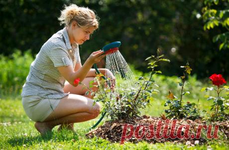 Лучшие подкормки для роз в августе и сентябре Цветение отнимает у роз много ресурсов. Ослабленные растения становятся легкой «добычей» для грибков и бактерий и плохо переносят зимние морозы. Подкормка в августе и сентябре – один из ключевых пунктов правильной подготовки розовых кустов к зимовке. Потребности роз после цветения и пересадки Розы затрачивают большой объем питательных веществ на формирование бутонов, наиболее интенсивно расходуются калий, фосфор, бор, цинк, кал...