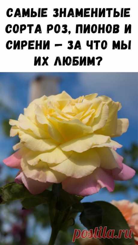 Самые знаменитые сорта роз, пионов и сирени — за что мы их любим? - Интересный блог