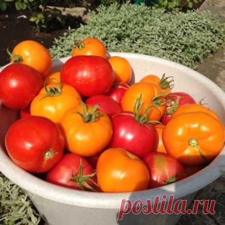Благодаря этому рецепту помидоры в прошлом году порадовали урожаем - МирТесен