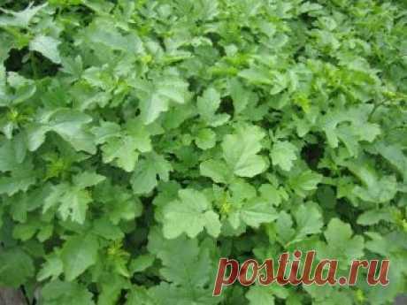 Лучшие растения-сидераты: крестоцветные