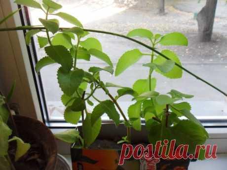 Плектрантус: особенности выращивания популярного декоративного растения (145 фото)