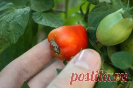 Почему у помидоров почернели попки?   Помидоры еще толком не начали плодоносить, а от огородников уже поступают жалобы на вершинную гниль. Пока помидоры страдают от нее только в теплицах, но не за горами ее появление и в открытом грунте…