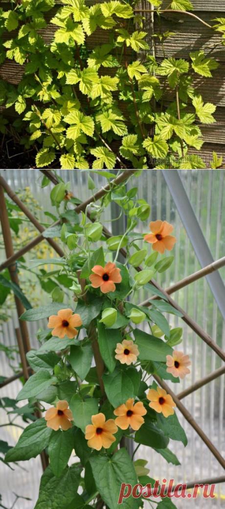 Лёгкие вьющиеся растения для изгородей