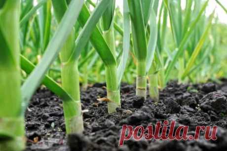 Чем подкормить чеснок весной, посаженный под зиму, чтобы был крупный и не желтел, для достижения высокой урожайности