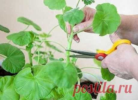 AS IT IS CORRECT TO CUT OFF THE GERANIUM THAT IT MAGNIFICENTLY BLOSSOMED.
