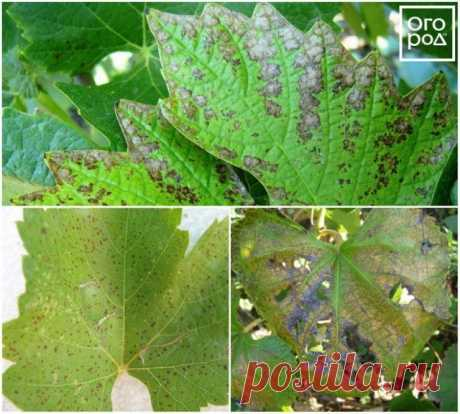 On leaves of grapes there were spots – what to do and than to treat bushes