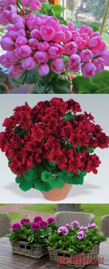Пеларгония в саду, посадка и уход. Пеларгония в саду: описание, сорта, посадка, уход + фото