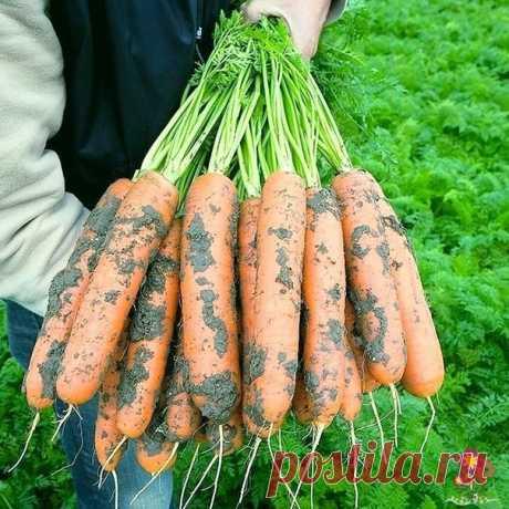 Морковь переходит на наращивание корнеплода. Рассказываю, как ухаживать за ней в июле. Пара советов.