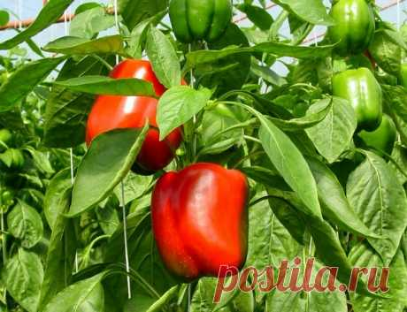 Than to feed up pepper for growth: the best folk remedies \u000aPepper – the handsome, the king of garden beds and a table. Of course, any summer resident hopes to grow up successfully this miracle on the site. But pepper places very great demands on cultivation conditions. …