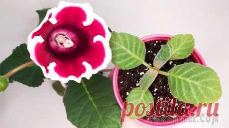 Глоксинии из семян. Вторая пикировка сеянцев Опытные цветоводы рекомендуют пикировать глоксинию три - четыре раза. Если саженцев много и они мешают друг другу, пересадите их, либо растения остановятся в росте. Первая пикировка происходит в фазе ...
