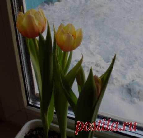 Выгонка тюльпанов и других луковичных | Дачнику-удачи