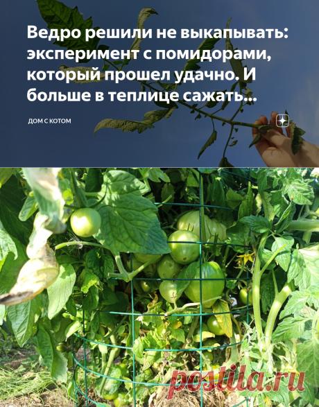 Ведро решили не выкапывать: эксперимент с помидорами, который прошел удачно. И больше в теплице сажать томаты не буду | Дом с Котом | Яндекс Дзен