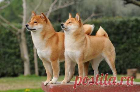 Самые древние породы собак, которые сегодня встретишь нечасто / Питомцы
