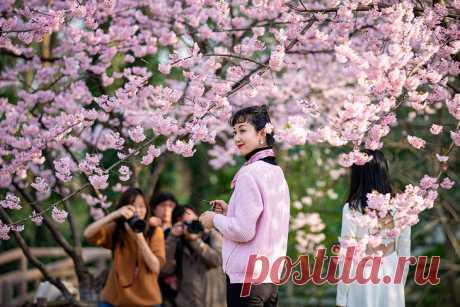 Цветущая сакура в Японии: luyssi70