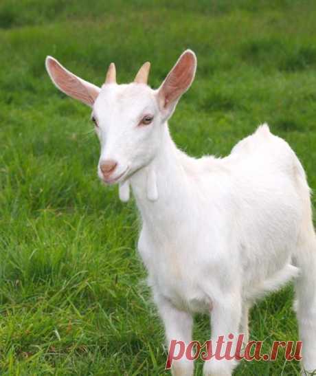 Картинки про козу (35 фото) ⭐ Забавник