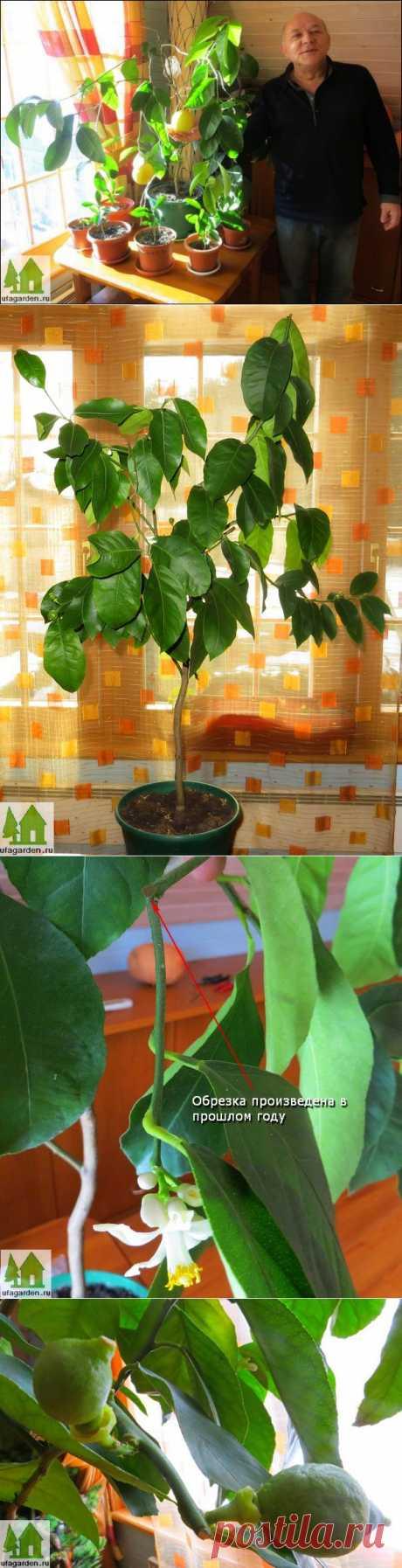 Обрезка лимона | Дачная жизнь - сад, огород, дача.  Сейчас, середина марта, время, когда можно проводить обрезку домашнего лимона. В этой статье мы расскажем о своем опыте и надеемся получить комментарии от читателей, которым эта тема интересна.